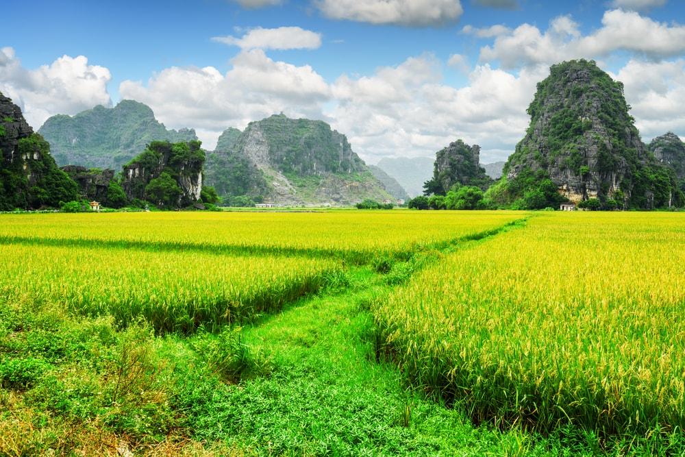 du lịch Ninh Bình ngắm ruộng lúa chín 2